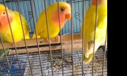 Lovebirds many colors, female and male.. $35-$50 depending on the color...contact me for more info at 619-942-1674 or visit us at: Arrieros Pet Shop 2550 Imperial Ave San Diego, CA 92102