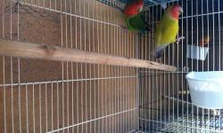 I have a proven pair of lovebirds that i have. I am looking for a good home for them. Male is a lutino and female i believe shes known as a peach face. Female does not byte. Im asking $120 with cage and nest box I also have 2 lutino lovebirds for $60
