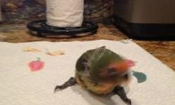 Baby lovebirds for sale .three month Old Lovebirds are social and riquire company .. Im I hobby breder and care about my birds .. 50 each My phone number is 305.962.3989.. Hablo espanol ... Thanks and new baby's black masked mom and papi yellow fisher the