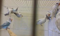 dilute blue fischer lovebirds
