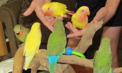 Lovebirds Life changes has me needing to downsize my birds. Lutinos, pieds, proven breeding pair (pictured are SOLD) Also have a wide assortment of cages and canaries. Located in Bettendorf near 53rd and Utica Ridge Road. This posting will be removed once
