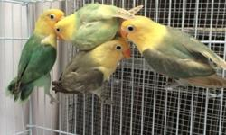 Yellow face lovebirds This ad was posted with the eBay Classifieds mobile app.