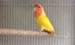 I have 1 lovebird for sale and 2 pastel diluted yellow Fischers $55 each . (916)346-1126 This ad was posted with the eBay Classifieds mobile app.