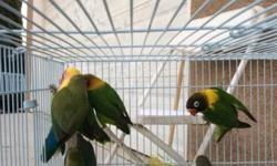 Our lovebirds need a new home! We have many colors to chose from..come and visit us at Arrieros Pet Shop at 9531 Jamacha Blvd. Spring Valley, Ca 91977 or call 619-434-3207 se habla espanol