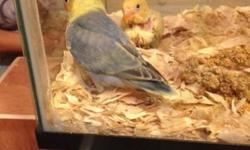 Hand fedding babies lovebirds . Yellow face double factor violet , yellow par blue .. Both are start eating seed . And veggie .. 305-962-3989 This ad was posted with the eBay Classifieds mobile app.