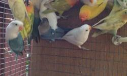 Hi I have diferent mutation lovebirds misty , yellow face white , Lutino , pies I live in Florida I do shipping 305-962-3989 This ad was posted with the eBay Classifieds mobile app.