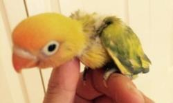 Babies lovebirds available hand feeder babies still in formula 305-962-3989 This ad was posted with the eBay Classifieds mobile app.
