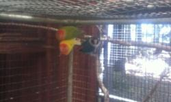 1 year old Lovebirds. 2 Peachface Opaline females, 1 lutino and 1 seafoam green. Not tame. Healthy. $25 each.