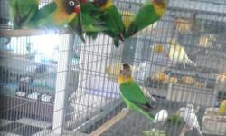 Arrieros Pet Shop has all kind of lovebirds available. ..we have good prices, visit us at 9532 Jamacha Blvd. Spring Valley, CA 91977 or call 619-434-3207