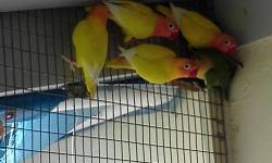 4 yellow fischeri black eye $100 And 2 pied opaline $60. And 6 indian ringneck $150 when they eat by their self. Hablo español. Cel 786-4885939. Email [email removed].