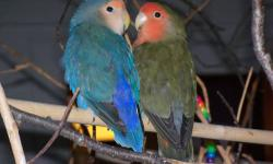 Tawney is a traditional Peachfaced female with a magnificent black and red tail. Astorain is a beautifully colored male Peachfaced, White Faced Dark Cobalt Blue & Olive, a very rare color. They are a little over one year old. Both are very calm and