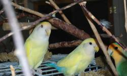 Imperial is a true yellow Lutino female with red eyes and a long thick white tail. Bing is a male, yellow with beautiful turquois, blue and green mixed colors. Both are very friendly, love to play, and have big appetites. They are $140.00 with 10 lbs. of