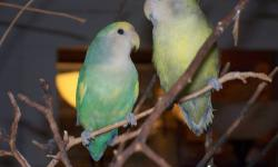 Jolly and Star are both pied Peachfaced Lovebirds. They are both very friendly and calm. They love their toys and fill their water bowl with their toys. They are 10 months old. Ten pounds of their favorite food is included. Their completely furnished cage
