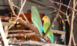 Beautiful pair of Lovebirds, very friendly and playful. Tangerine is an Orange Faced Long Wing and Lemon N' Lime is a bright green White Faced with a bright yellow brow band. I am not sure of gender, but my guess is Tangerine is male and Lemon N' Lime is