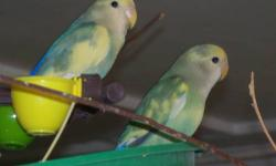 Merry and Star are both Pied Peachfaced Lovebirds. They are 5 month old inseperable siblings. They are extremely friendly, never bite and are hand tame, great for children, young and old. Their very own cage with their toys is available for $75. Why buy