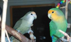 Pine is an Orange Faced Long Wing, probably male, and Chestnut is a Dark teal green White Faced, probably female, with an orange head band. They are both very friendly and love their little toys. They fill their water cup with toys as fast I can empty