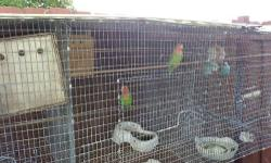 """I have 2 pairs of breeding lovebirds, they come with large breeding cage. For info please don't hesitate to call or text me at (305) 494-3281. serious buyers only and """"CASH ONLY"""". Thank you and God Bless."""