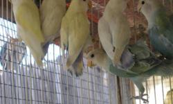 I have some peach face and fischer lovebirds; some orange canaries and some cockatiels for sale. the price starts at $40.00 each and up depending on the colors. they all are parent raised, no cage included. email if you have any questions. or trade,