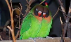Clove & Cleeze are male and female siblings. Black Cheeked Lovebirds are a very rare find. They are 10 months old. Black Cheeked are smaller than other species, they are probably the smartest and most active of the four species that I raise. They are