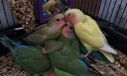 8 weeks old green peach faced lovebirds for sale. They just started eating by themselves. Text me or call me. (954) 608-8245. Thanks, Alex --- Loritos agapornis de 8 semanas a la venta. Acaban de empezar a comer solos. Llamame o texteame. (954) 608-8245.
