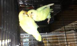 Available two baby lovebirds just weaned. One Creamino and one Australian Cinamon $55 each. Also Cockatiels $75, Green Cheek Conures $150, Indian Ringneck green (Blue and Lutino Split) $150 Indian Ringneck Turquoise Lacewing $150 Sun Conure $250 Ruby