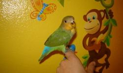Nothing Avail. at this time. (currently have 4 - 2wk old babies) Find us on Facebook. Lena's Lovebirds My babies are parent raised (fed by parents), but hand-tamed (They don?t bite and are handled by human hand since birth). Located in Mira Mesa, 92126