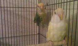several young lovebirds to choose from $25.00 each Not tame I got these ones to use as breeders and they have not proven for me