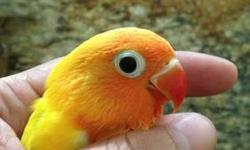 baby peachface lutinos contact # 305 345 8829