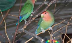 Hollyram & Hobler are traditional bright green with blue and red tails, Peachfaced Lovebirds. They are a year old, a truely bonded pair. They are friendly, they don't bite and they love to play with their little toys. Their own complete cage and all of