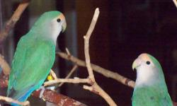 Midori & Yara are Whiteface roseicollis, not related but look alike, Yara, the female, is a little bigger than Midori. They are very sweet, gentle, and playful birds. They are almost two years old and have had two babies, neither looked like them. I