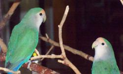 Many more like Midori & Yara are Whiteface roseicollis, not related but look alike, Yara, the female, is a little bigger than Midori. They are very sweet, gentle, and playful birds. They are almost two years old and have had two babies, neither looked