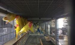 Lovebirds, many colors to choose from.. Tame! Call 619-434-3207 for price