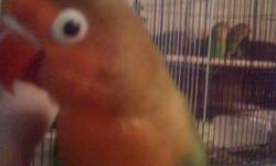 I am looking for a pair of lovebirds. I would like them to be tame, but will consider untame. If you have any please contact me at 713-548-4636. I would like a blue colored or peach face, but please contact if you have any color. Thanks.