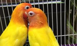 Lutino and Albino lovebirds available in lots. All birds are adult and ready to breed. if interested please call me at (305)775-9864 se habla Español