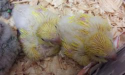 Lutino and albino baby quakers305-905-8503