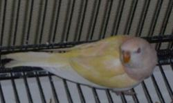 Young bourkes-one Lutino $200, one Rosie $75, three normal, $50 each. The rosie and normal are siblings and are out of a white face pink hen and a split lutino normal male. They are really nice big birds. I feed my birds a varied diet of fruits, veggies,