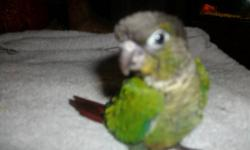 I AM HANDFEEDING 2 FEMALE LUTINO AND 1 NORMAL MALE SPLIT LUTINO BOURKES PARAKEETS.....LUTINOS $200ea NORMAL SPLIT MALE $125ea....located in bristol,tn 37620....would consider trades on orange redrumps,norwich canaries,elegant keets,forbes parrot