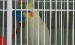 Lutino Cockatiel, not tame. Would make a good breeder bird. Cage not included. Not DNA tested but believed to be a female. Located in Mercer PA 16137.
