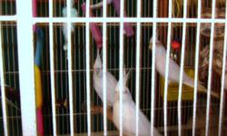 2 Two year old White Lutino Cockatiels ready for new homes male and female. $50.00 each. Friendly, and healthy. Call 456-2477 if interersted. Calls are the best way to reach me. SERIOUS INQUIRIES ONLY AND DO NOT USE THIS EMAIL ADDRESS FOR SPAM PURPOSES.