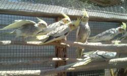 Lutino Cockatiels! Only 5 left. Very yellow and gorgeous tiels. not tame. $75 each or all for 300