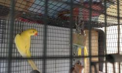 Indian Ringneck 10 months old, please call at