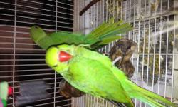 Scaling back on some of my breeding pairs. Lution Ringneck Breeding pair. Not pets and will not split up. www.AzBirdRanch.com or call Jan 602 999-0171 for more info, Have others for sale Let me know what your looking for Willing to ship at buyers expense