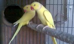 Proven Hethy Birds Not tame breeders Sking 375$ I can send pics . Text or email 6024878900 This pic is from the web but my pair looks the same Also selling my flock of fisher lovebirds .not normal color 20 total all breeders