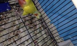 have a bonded pair of lovebirds lutino... I also have another pair with eggs... would like to find homes for the babies when they are ready.. these birds need time and attention. They like to play outside their cage... thanks.