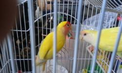 hi i have a few birds ... 1.pair of cockatiels tame.. breeding pair one lutino male and one pearl gray female..pair 150.00 price is firm 2.lutino peach peach tame $ 45 each 3.canaries waterslagger pair $110.00 4.canaries red factor pair $ 120.00 5. blue