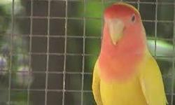 lutino lovebirds !!! DANAS BIRDS !!! SUNSHINE FLEA MARKET !!! BOOTH 16 B,C,D !!! BEST PRICES IN TOWN !!!