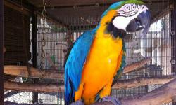 Louey - Beautiful Blue/Gold Macaw! Loves to dance, music and very fun loving bird. Has a great personality, is quite the character and is sociable - with people and other birds... we treat him like one of the family. Louey is around 5-7 years old and is