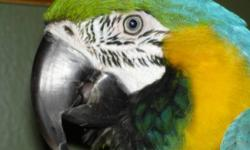 Macaw - Cosmo - Large - Adult - Bird Cosmo is a yellow-collared macaw one of the larger of the mini macaws, he is the life of the bird room, he loves to laugh and will have you in tears. He does have some trust issues but once he trust you he is a
