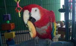 Macaw - Gonzo - Extra Large - Adult - Female - Bird Gonzo is a Catalina Macaw. She is 18 years old and has had a tough life.We have been working with her and she is slowly coming around. She does bite and can get aggressive.She is hunting for the perfect