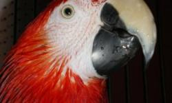 """Lola is a beautiful sweet Miligold Macaw. A Miligold is a hybrid cross between a Blue & Gold and a Military Macaw. She says """"hello"""", """"hi"""" and """"yum"""" or """"mmmm"""" when she likes the taste of what you give her to eat. She is a very special bird with NO issues."""